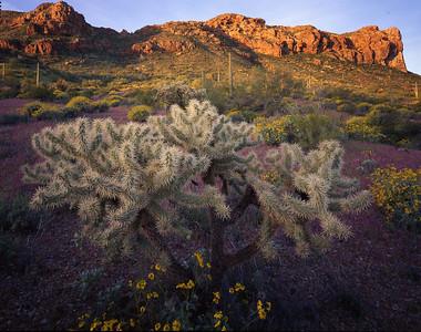 Organ Pipe Cactus Natn'l., AZ/Mon. Chain cholla (Opuntia fulgida), brittlebush (Encelia farinosa) & red owl's-clover (Othocarpus purpurascens), Puerto Blanco Mtns.backgrnd.395h12