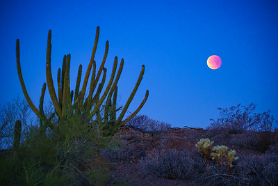 Blood Moon over Organ Pipe Cactus