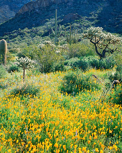 Organ Pipe National Mon., AZ/ Mexican poppies (Eschscholtzia californica) chain cholla (Opuntia fulgida) saguaro cactus (Carnegiea gigantea) & Organ Pipe cactus (Cereus thurberi). Ajo Mtns.398