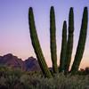 Organ Pipe Cactus at Twilight