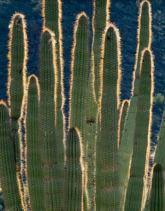 Organ Pipe Cactus, AZ/National Monument, Estes Canyon, Organ Pipe Cactus (Cereus therberi) with its spines aglow from backlit sunrise. 1290v adc