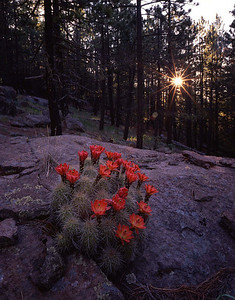 Chiricahua Mountains, AZ/Coronado National Forest, Claret Cup hedgehog cactus (Echinocereus triglochi- datus) in bloom in Ponderosa Pine (Pinus ponderosa) forest.690vaea