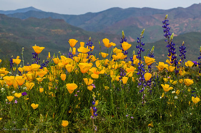 Poppies and Lupine at Bartlett Lake