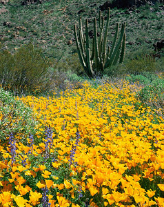 Organ Pipe National Mon., AZ/ Mexican poppies (Eschscholtzia californica)  & Coulter's lupine (lupinus sparsiflorus) Organ Pipe cactus (Cereus thurberi). Ajo Mountains.398   398