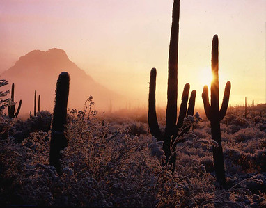 Saguaro National Park AZ/Tucson Mountains. New fallen snow and fog at sunrise in Saguaro cactus (Carnegiea gigantea) forest bajada. 187h                           a
