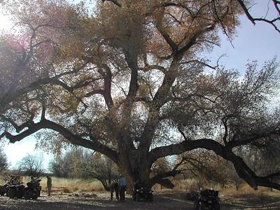 Cottonwoods Along ATV Trail in AZ