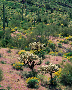 Organ Pipe Cactus Natn'l., AZ/Monument. Brittlebush (Encelia farinosa) & chain cholla (Opuntia fulgida)amid red owl's clover (Orthocarpus purpurascens) Blanco Mountains.395V11