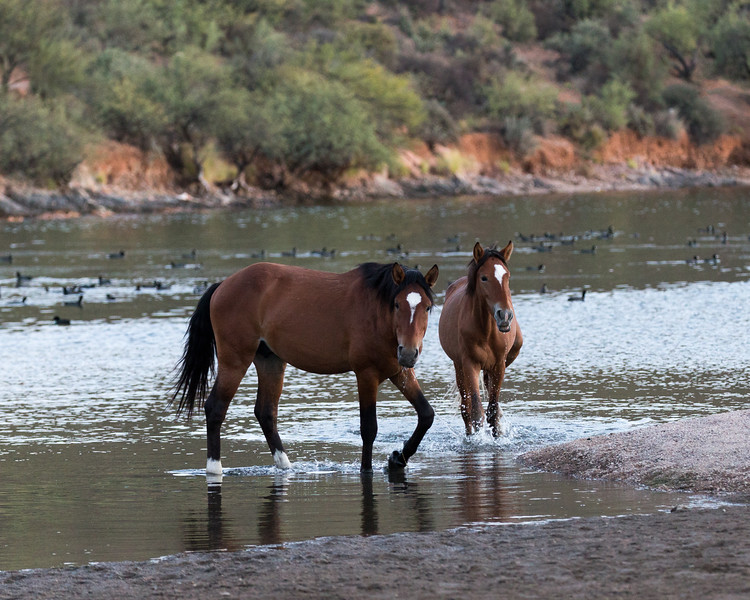 Wild Horses, Saguaro Lake, AZ