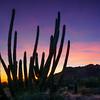 Organ Pipe Cactus at Sunset