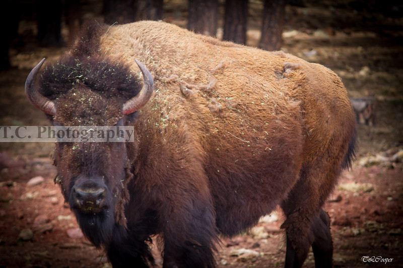 National mammal of the United States....the Buffalo