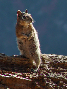 Golden Mantled Ground Squirrel, South Rim Grand Canyon