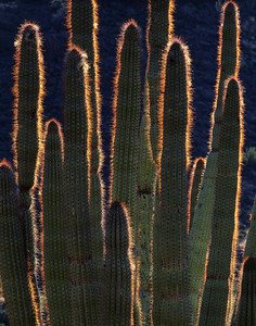 Organ Pipe Cactus, AZ/National Monument, Estes Canyon, Organ Pipe Cactus (Cereus therberi) with its spines aglow from backlit sunrise. 1290v add