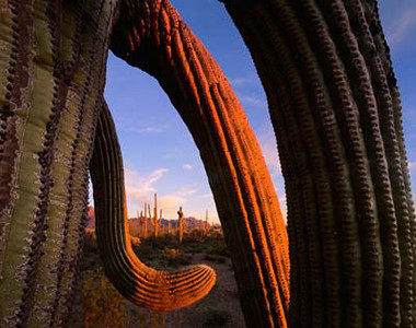 Organ Pipe Cactus Natn'l.Mon.AZ/ Saguaro cactus (Carnegiea gigantea) with twisted arms at sunset with Ajo Mountains in background. 398 58mm