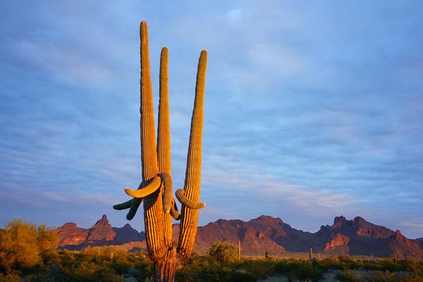 Last Light on Saguaro