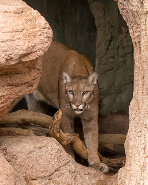Mountain Lion, Pima County, AZ