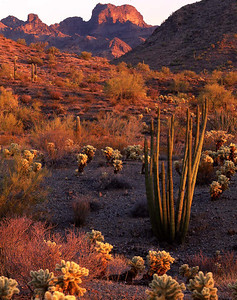 Organ Pipe Cactus National Mon. ,AZ / Kino Peak looms over hillsides with Teddy Bear Cholla (Opuntia bigelovii) and Organ Pipe Cactus (Stenocereus thurberi) at sunset. 499V3