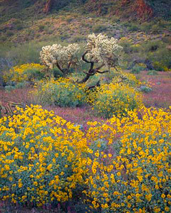 Organ Pipe Cactus Natn'l., AZ/Mon. Chain cholla (Opuntia fulgida), brittlebush (Encelia farinosa) & red owl's-clover (Othocarpus purpurascens), Puerto Blanco Mtns.backgrnd.395v6