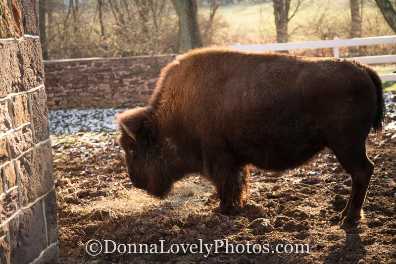 Annie the Buffalo ©DonnaLovelyPhotos com-