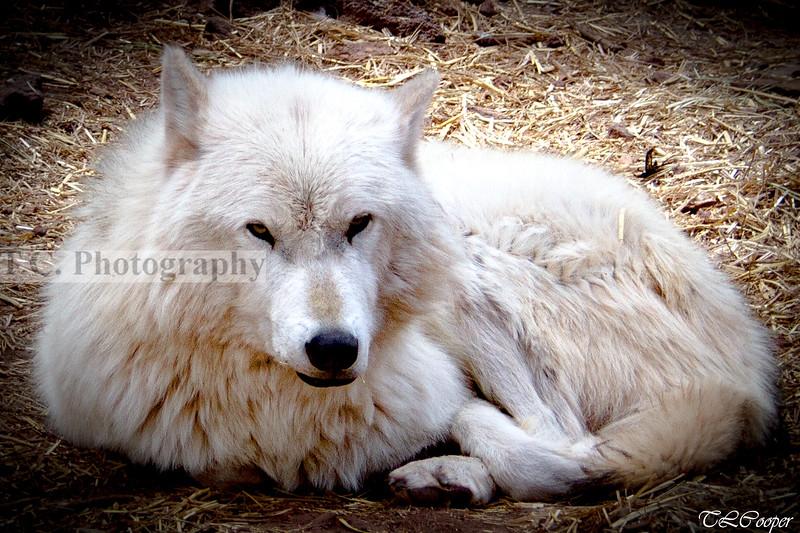 White Wolf in Arizona