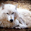 White Wolf in Arizona
