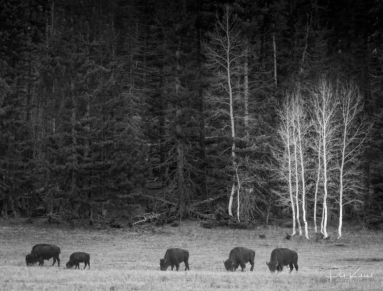 A small group of bison graze peacefully in the Coconino forest ob the North Rim of the Grand Canyon
