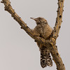 Cactus Wren and Octolillo, Pima County, AZ