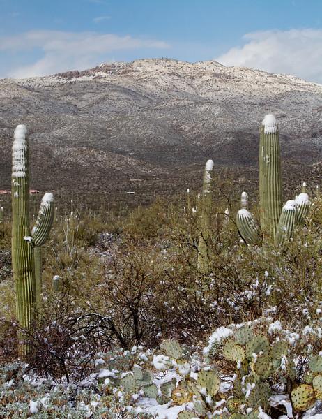 RBP IMG_8118 Saguaro National Park Saguaro in Snow Catalinea Mountains