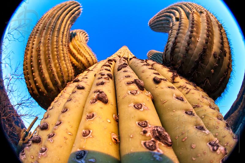 RBP IMG_1429 Saguaro National Park Saguaro Cactus Straight-up