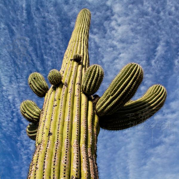 RBP IMG_6836 Saguaro National Park Saguaro Cactus Tucson AZ