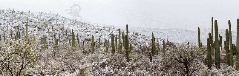 RBP IMG_7983 Saguaro National Park Saguaro in Snow Rincon Mountains S