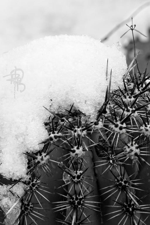 RBP IMG_8018 Saguaro National Park Cactus in Snow