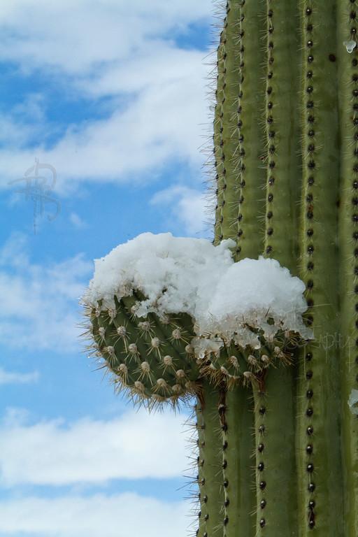 RBP IMG_8052 Saguaro National Park Saguaro Cactus in Snow with Blue Sky