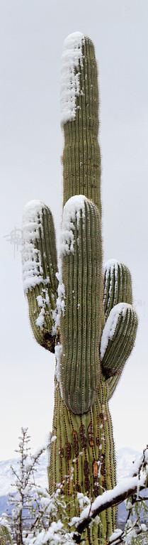 RBP IMG_7995 Saguaro National Park Saguaro in Snow s