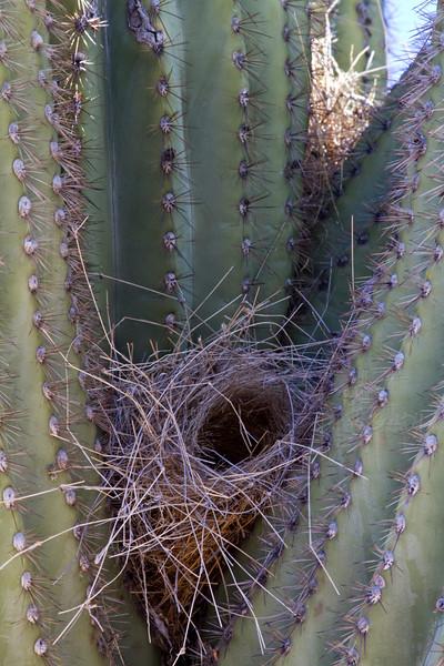 RBP IMG_7124 Saguaro National Park Saguaro Nest