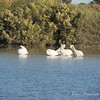 American White Pelicans at Riparian Preserve, Gilbert