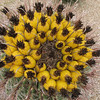 Barrel Cactus, top view
