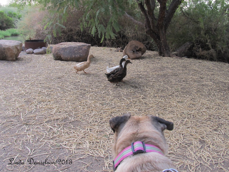 Sadie and I sat down for a rest in a campsite for a drink of water when all of a sudden, these four ducks scampered up across the campsite to change ponds!