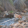 Sadie loves to wander in the creek<br /> Riparian Preserve, Gilbert