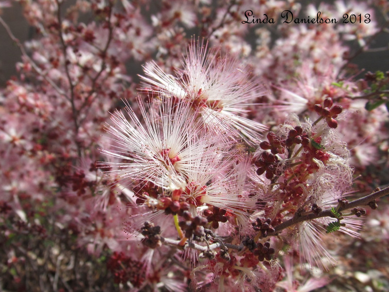 Closeup of a pink flowering bush