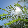 "Topic this week was a study in ""Lens Flare""<br /> Mesquite tree leaves"