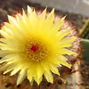 Desert cactus -- a bonus from Mother Earth!<br /> blooms are so short lived, you have to catch them when you can!