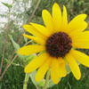 Desert Sunflower, at Riparian Preserve