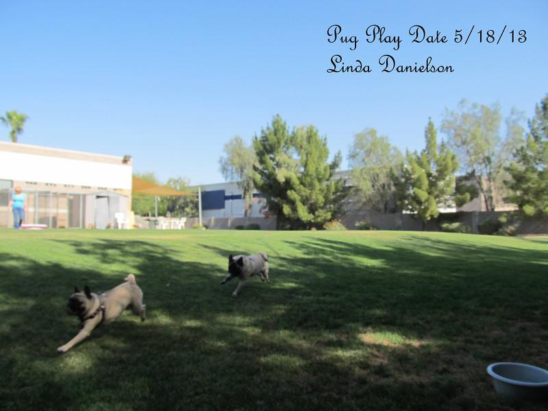 Pug Play Date 5/18/2013 -