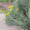 In the desert, flowers grow side by side in the shadows of a cactus.  Riparian Preserve