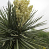 Once a year, the yucca flowers in a really big way.