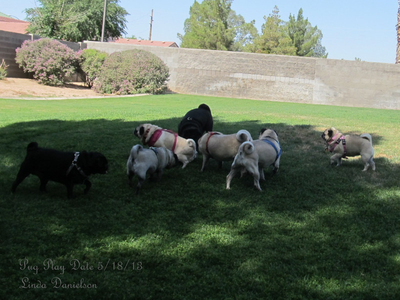 Pug Play Date 5/18/2013 - loads of fun for the pugs to get together and run.  Local animal hospital lets the group use their fenced yard so they can run free.  Sadie loved every minute of it!