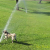 """For Sadie, she's convinced the best approach is """"attack"""" mode -- GET those evil sprinklers!  (lol  odd for a pug, she actually loves to play in water...)"""