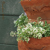 Working on perspectives in my photography, just a simple side view of a potted alyssum