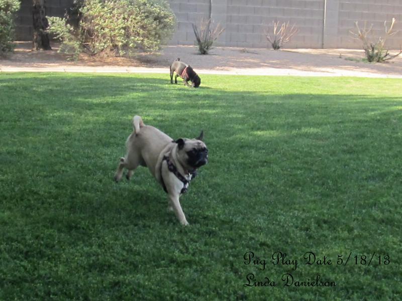 Pug Play Date 5/18/2013 - Run Sadie Run!
