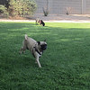 Pug Play Date 5/18/2013 - Run Sadie Run!
